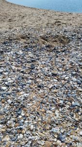shells on shelly island
